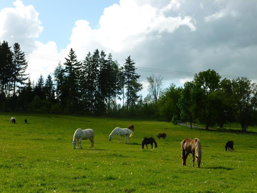 Koně na Manském dvoře