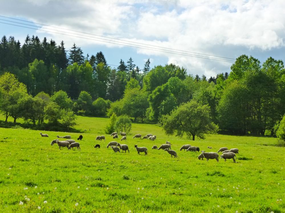 Ovečky na pastvě
