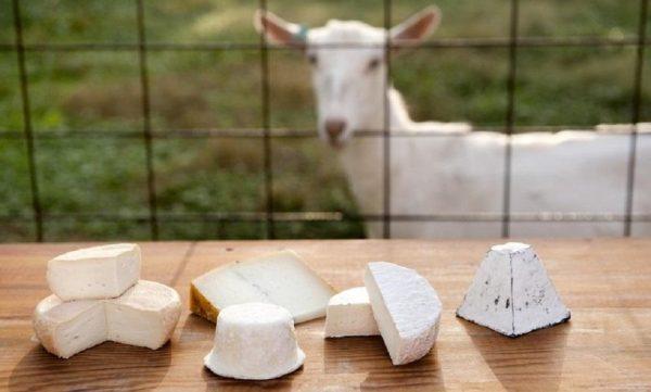 Výroba kozího sýru pro skupiny zdarma